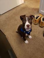 Abruzzenhund Puppies for sale in Arlington Heights, IL, USA. price: NA