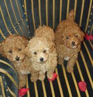 Abruzzenhund Puppies for sale in New York, NY, USA. price: NA