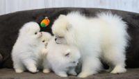 Abruzzenhund Puppies Photos