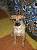 Abruzzenhund Puppies for sale in 4909 N 19th St., Milwaukee, WI 53209, USA. price: NA