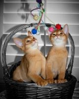 Abyssinian Cats Photos