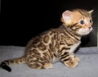 Abyssinian Cats for sale in Cedar Rapids, IA, USA. price: NA