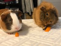 Abyssinian Guinea Pig Rodents for sale in 1363 Westminster Ave, Tulare, CA 93274, USA. price: NA