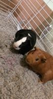 Abyssinian Guinea Pig Rodents for sale in West Bloomfield Township, MI 48324, USA. price: NA