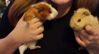 Abyssinian Guinea Pig Rodents for sale in Midland, MI, USA. price: NA