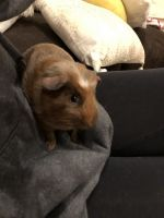 Abyssinian Guinea Pig Rodents for sale in Kalkaska, MI 49646, USA. price: NA