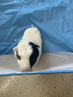 Abyssinian Guinea Pig Rodents for sale in Phoenix, AZ, USA. price: NA
