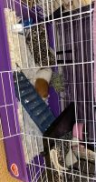 Abyssinian Guinea Pig Rodents for sale in Bakersfield, CA, USA. price: NA