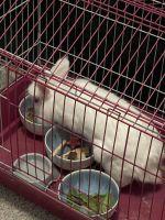 Abyssinian Hare Rabbits Photos