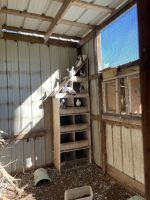 Afep Pigeon Birds for sale in New Roads, LA 70760, USA. price: NA