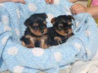 Affenpinscher Puppies Photos