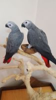 African Grey Birds for sale in Van Nuys, Los Angeles, CA, USA. price: NA