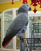 African Grey Birds for sale in Sacramento, CA, USA. price: NA