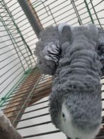 African Grey Birds for sale in San Francisco, CA 94102, USA. price: NA