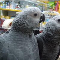 African Grey Birds for sale in California City, CA, USA. price: NA
