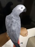 African Grey Birds for sale in 54501 Griffis Rd, Cassopolis, MI 49031, USA. price: NA