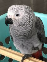 African Grey Parrot Birds for sale in Toronto Paseo, Ontario, CA 91761, USA. price: NA