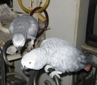 African Grey Parrot Birds for sale in Miami Beach, FL, USA. price: NA