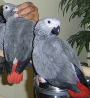 African Grey Parrot Birds for sale in Dallas, TX, USA. price: NA