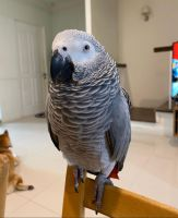 African Grey Parrot Birds for sale in Santa Clara County, CA, USA. price: NA