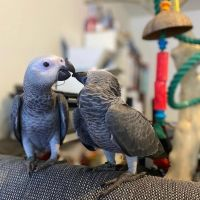 African Grey Parrot Birds for sale in Los Angeles, CA, USA. price: NA