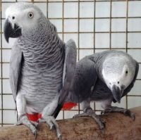 African Grey Parrot Birds for sale in Burley, ID 83318, USA. price: NA