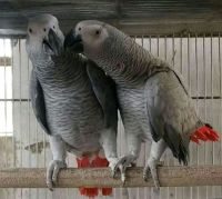 African Grey Parrot Birds for sale in North Miami, FL, USA. price: NA