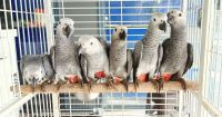African Grey Parrot Birds for sale in California City, CA, USA. price: NA