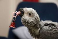 African Grey Parrot Birds for sale in Jacksonville, FL, USA. price: NA