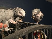 African Grey Parrot Birds for sale in Pennsylvania Ave NW, Washington, DC, USA. price: NA