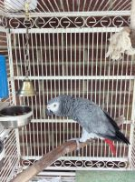 African Grey Parrot Birds for sale in Kansas City, MO, USA. price: NA