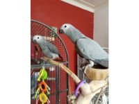 African Grey Parrot Birds for sale in Albuquerque, NM 87123, USA. price: NA