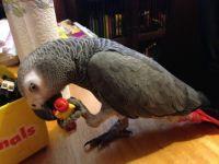 African Grey Parrot Birds for sale in Honolulu Harbor, Kalihi - Palama, HI 96817, USA. price: NA