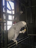 African Grey Parrot Birds for sale in Hicksville, NY, USA. price: NA