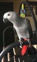 African Grey Parrot Birds for sale in San Francisco, CA, USA. price: NA