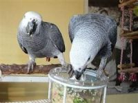 African Grey Parrot Birds for sale in Ajax Ave, Bell Gardens, CA 90201, USA. price: NA