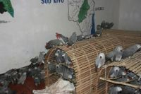 African Grey Parrot Birds for sale in Indianapolis, IN, USA. price: NA