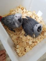 African Grey Parrot Birds for sale in Chicago, IL 60602, USA. price: NA