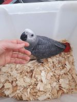 African Grey Parrot Birds for sale in Ohio Dr SW, Washington, DC, USA. price: NA