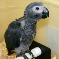 African Grey Parrot Birds for sale in Ohio St, San Diego, CA, USA. price: NA