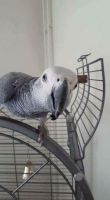 African Grey Parrot Birds for sale in Chicago, IL, USA. price: NA