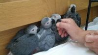 African Grey Parrot Birds for sale in Florida Ave, Miami, FL 33133, USA. price: NA