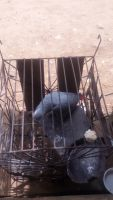 African Grey Parrot Birds for sale in Scottsdale, AZ, USA. price: NA
