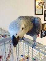 African Grey Parrot Birds for sale in Ashburn, VA, USA. price: NA