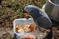 African Grey Parrot Birds for sale in Klockner Rd, Hamilton Township, NJ, USA. price: NA