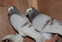 African Grey Parrot Birds for sale in Texas St, San Francisco, CA 94107, USA. price: NA