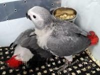 African Grey Parrot Birds for sale in Salt Lake City, UT, USA. price: NA