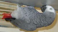 African Grey Parrot Birds for sale in Atlanta, GA, USA. price: NA