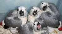 African Grey Parrot Birds for sale in San Antonio, TX 78241, USA. price: NA