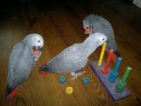 African Grey Parrot Birds for sale in Fulton St, Brooklyn, NY, USA. price: NA